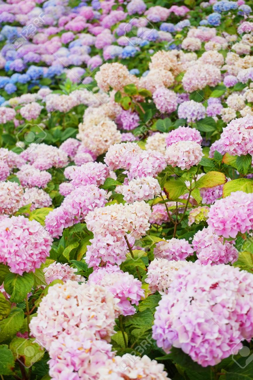 Hortensia Flowers As Very Nice Color Natural Background Stock Photo - Color-hortensia