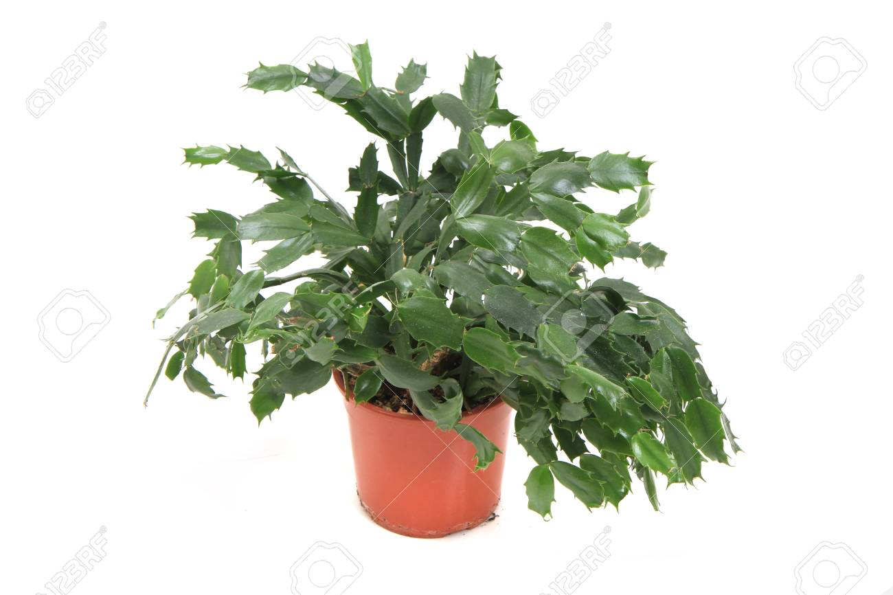 Christmas Cactus Plant.Christmas Cactus Plant Isolated On The White Background