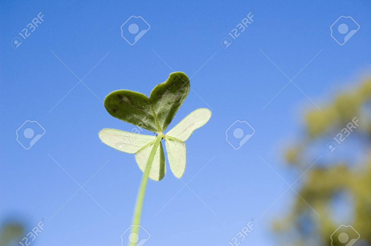 The back of clover which make a butterfly shape Stock Photo - 395083