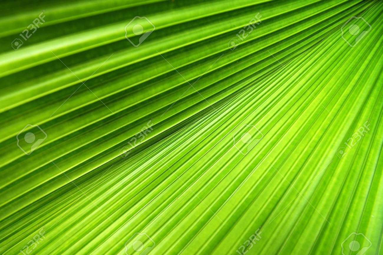 Palm leaf with a strong diagonal through the frame Stock Photo - 1896131