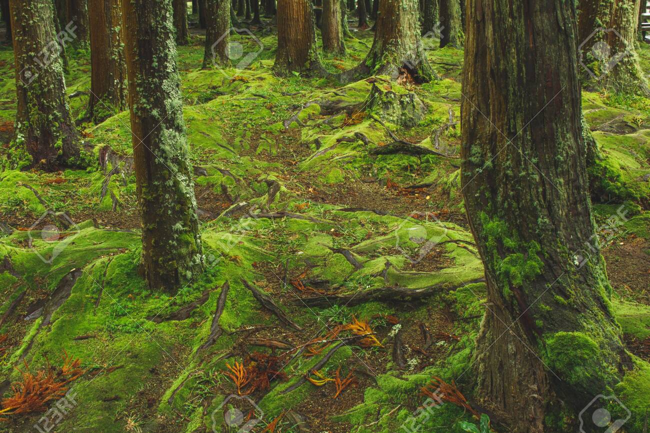 mystic green forest ground with roots on Soa Miguel, Azores, Portugal - 131938984