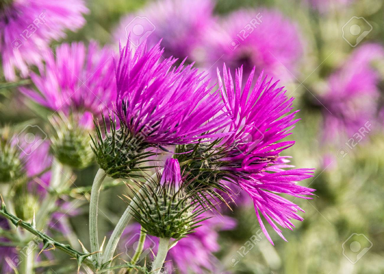 Purple Milk Thistle Flowers Stock Photo Picture And Royalty Free