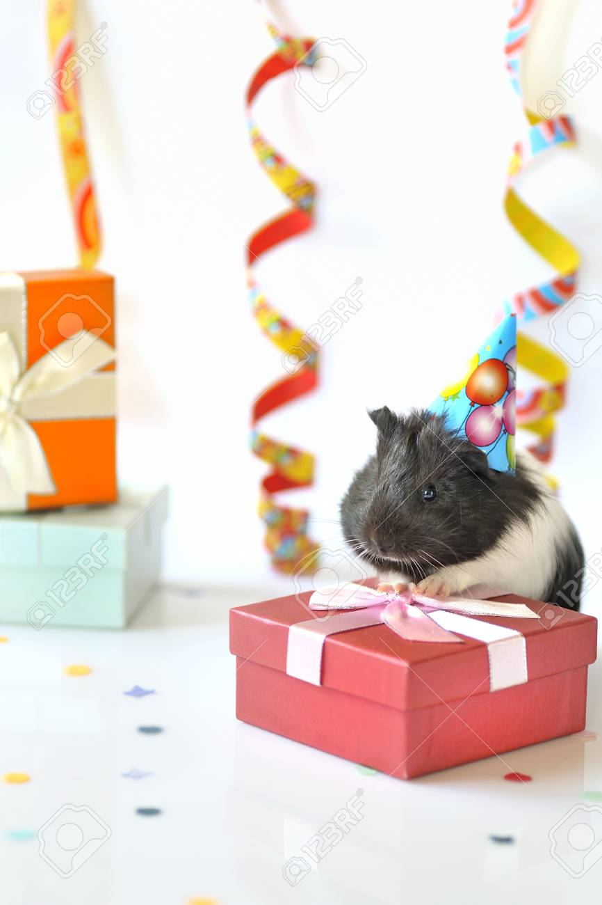 guinea pig and gifts Stock Photo - 16509465