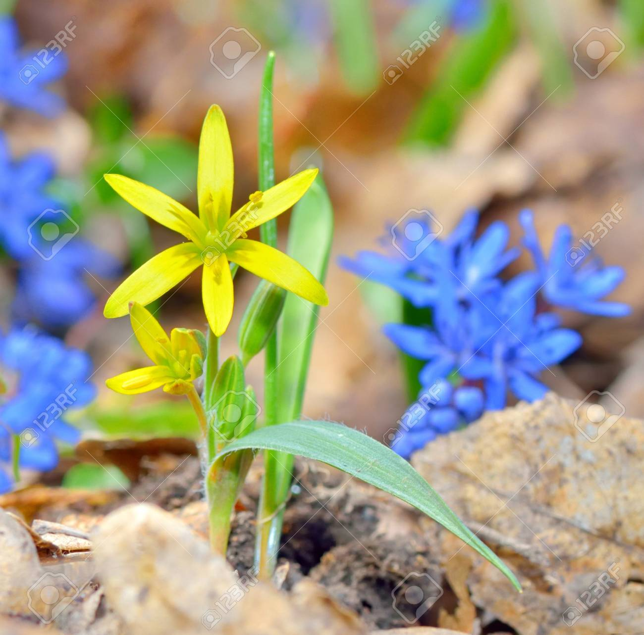 Spring yellow flower on natural background Stock Photo - 18558599