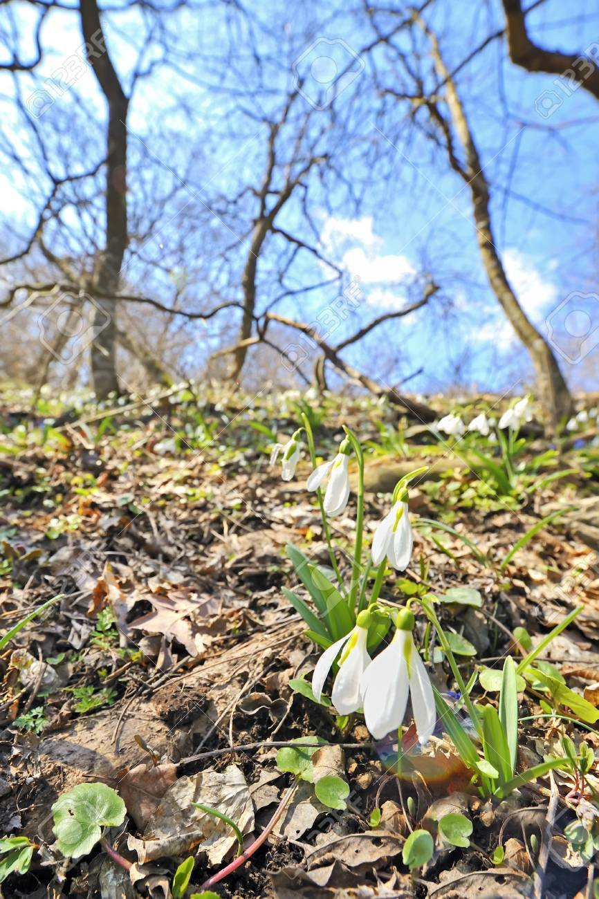Snowdrops against old leaves in spring time Stock Photo - 18688799