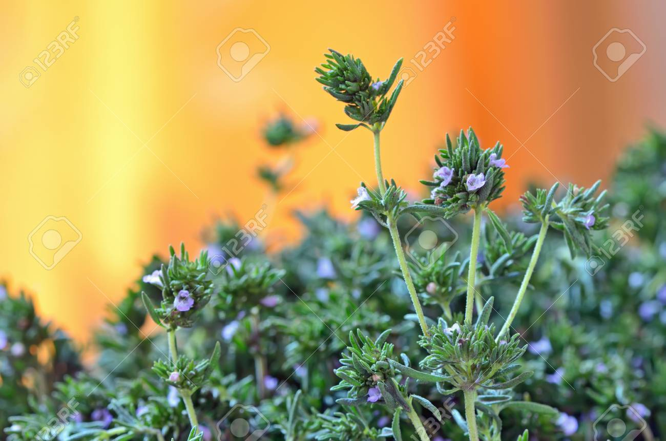 Fresh Thyme shoot in garden in summer time Stock Photo - 21451802