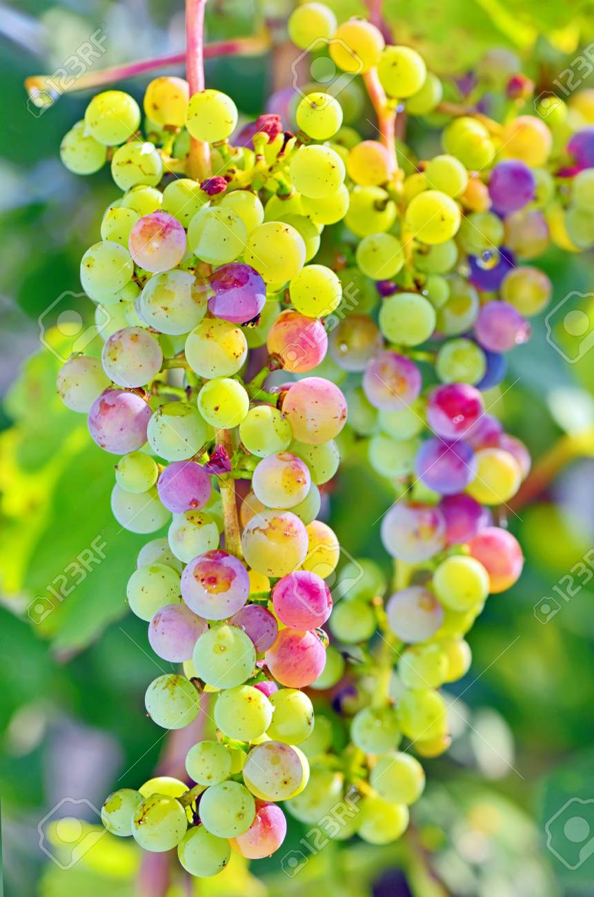 unripe grapes in summer time Stock Photo - 21885631