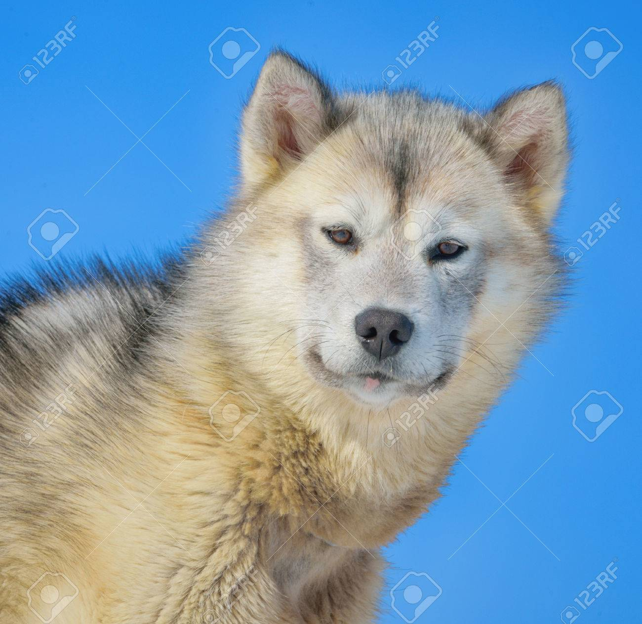 greenland dog in winter time Stock Photo - 24388062