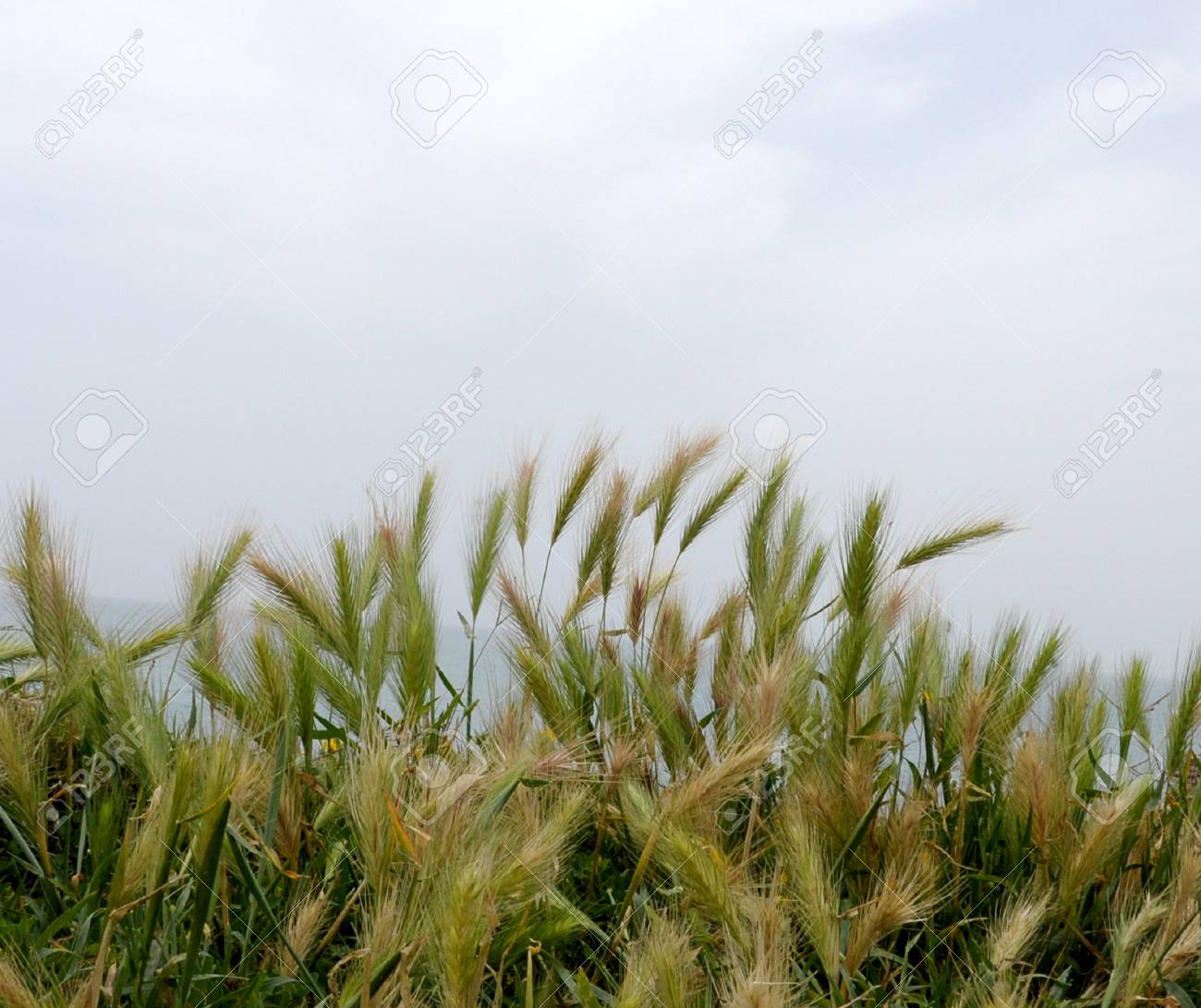 Grain growing in a farm field Stock Photo - 5044471