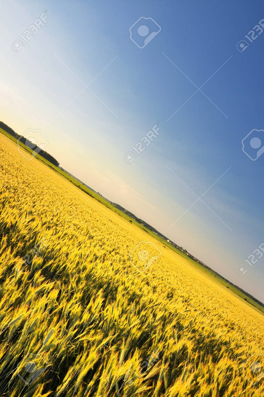 big field of wheat in sunset original concept Stock Photo - 7311585