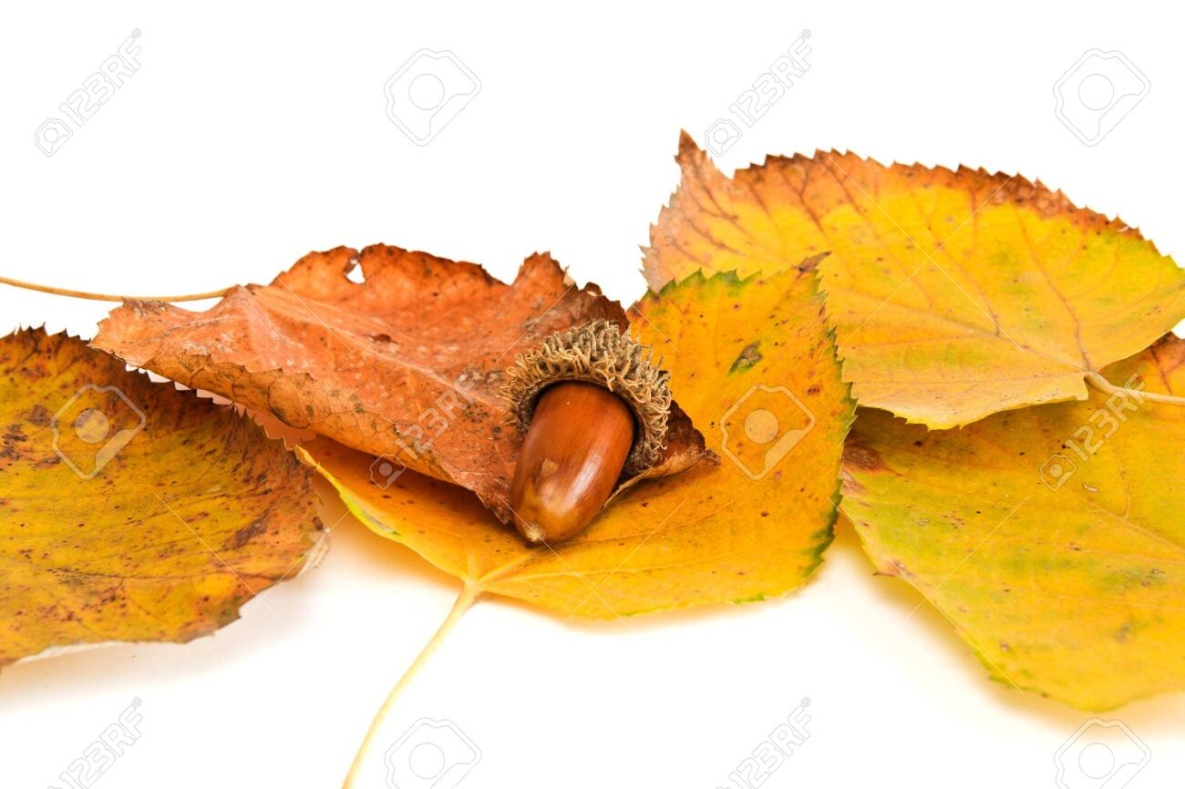 Acorns with leaves close Stock Photo - 4970319