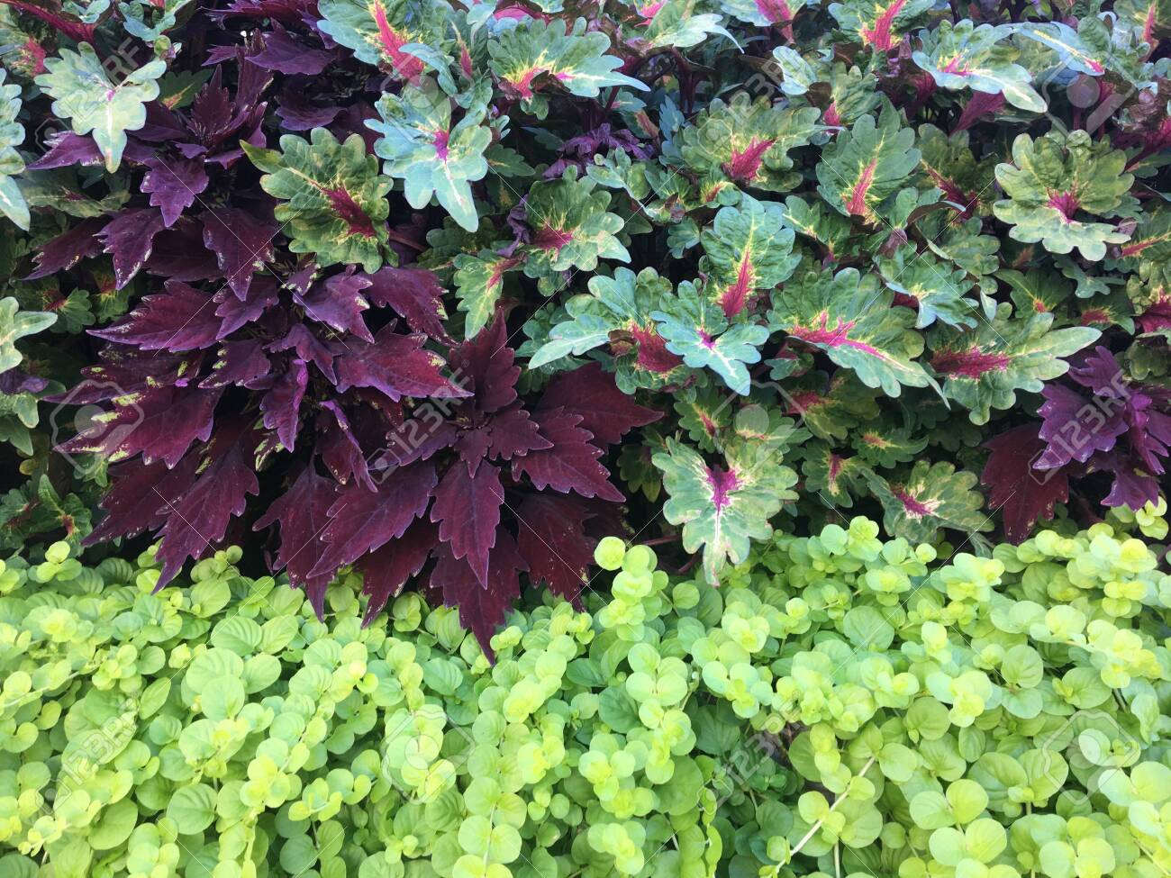 Coleus In Garden Stock Photo Picture And Royalty Free Image