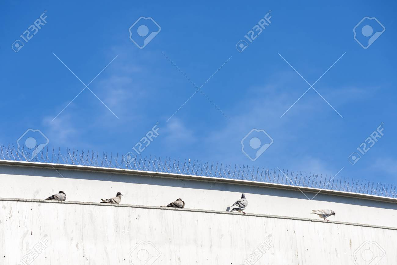 Five doves resting on a wall under some anti-pigeon spikes in Barcelona, Catalonia, Spain - 53911051