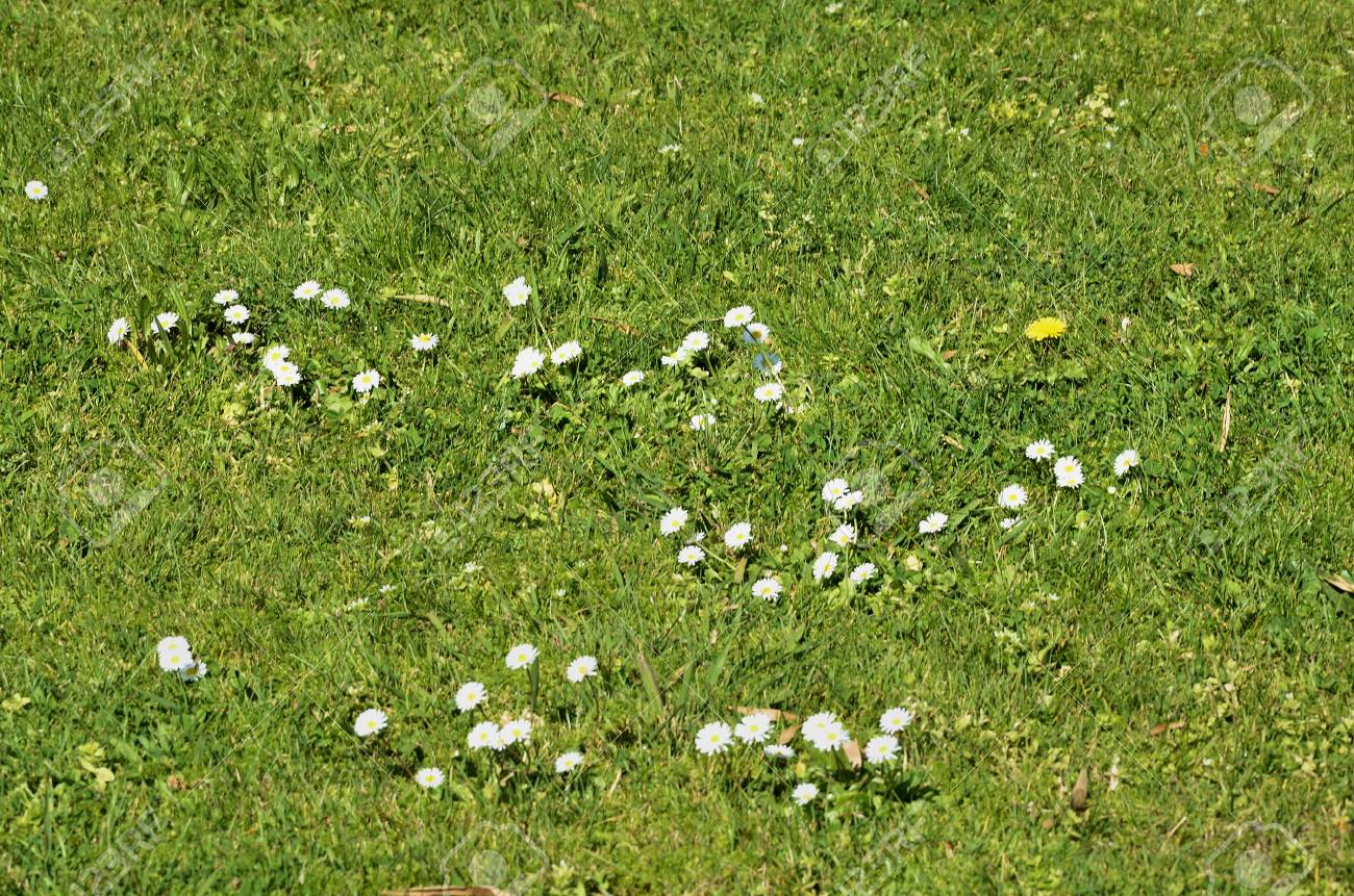 Wild White Flowers Surrounded By Green Grass Stock Photo Picture