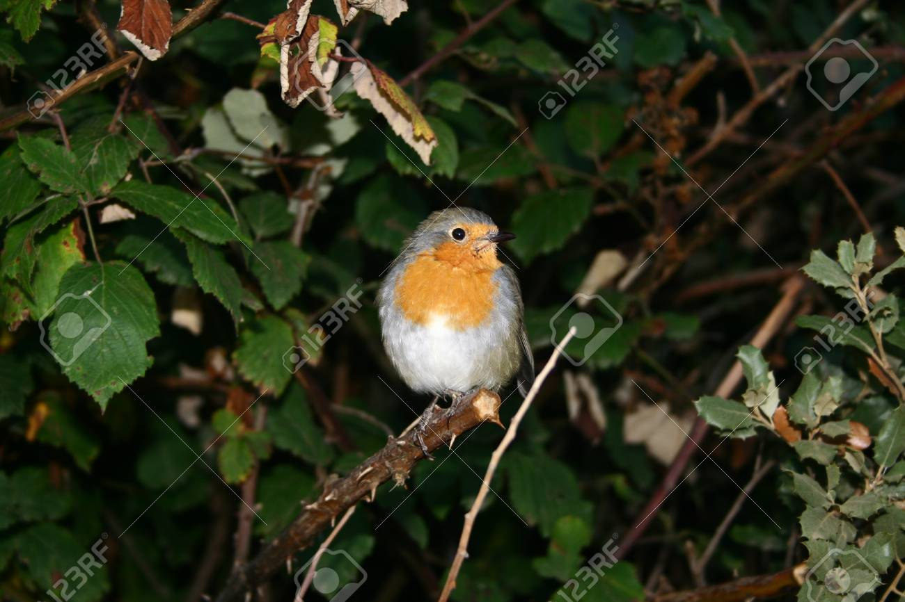 Robin perched on branch. Stock Photo - 11803576