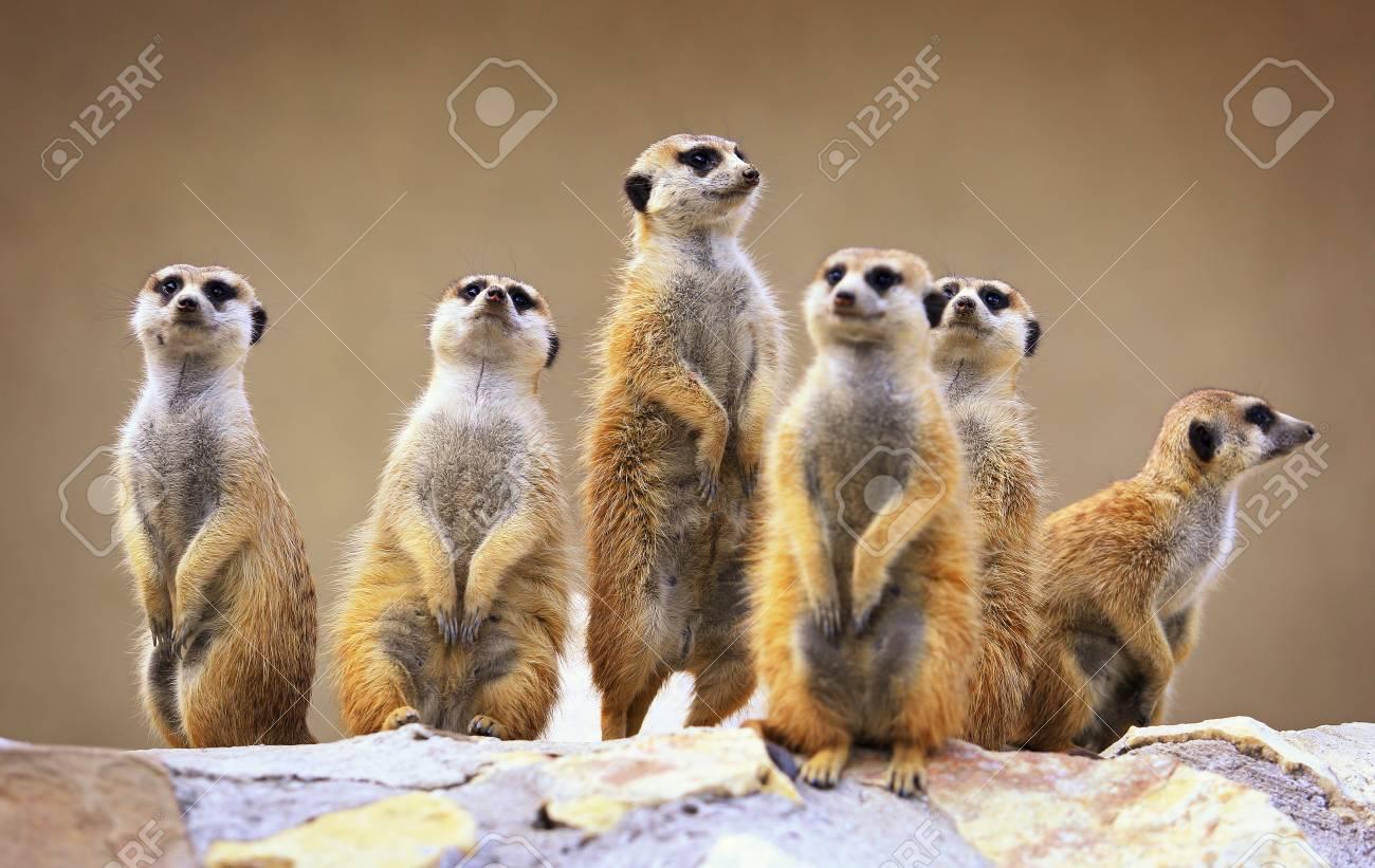 Group of watching surricatas outdoor - 90392797