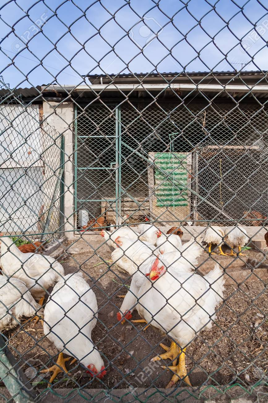 White Chickens Or Hens Inside A Chicken Coop Or Hen House Seen Stock Photo Picture And Royalty Free Image Image 69864859