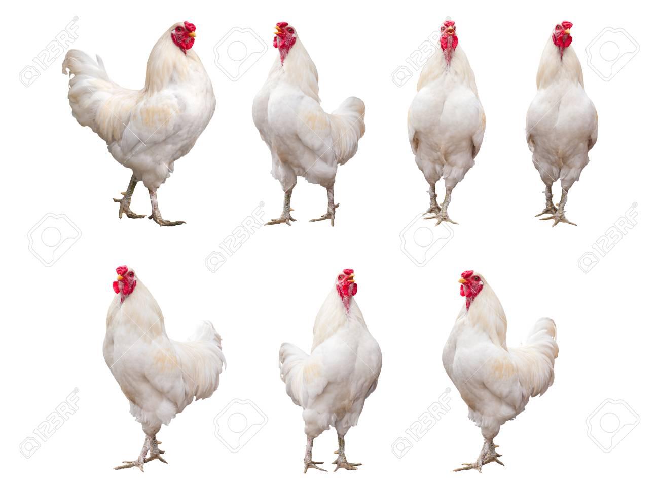 blanc coqs ébène dans lingerie