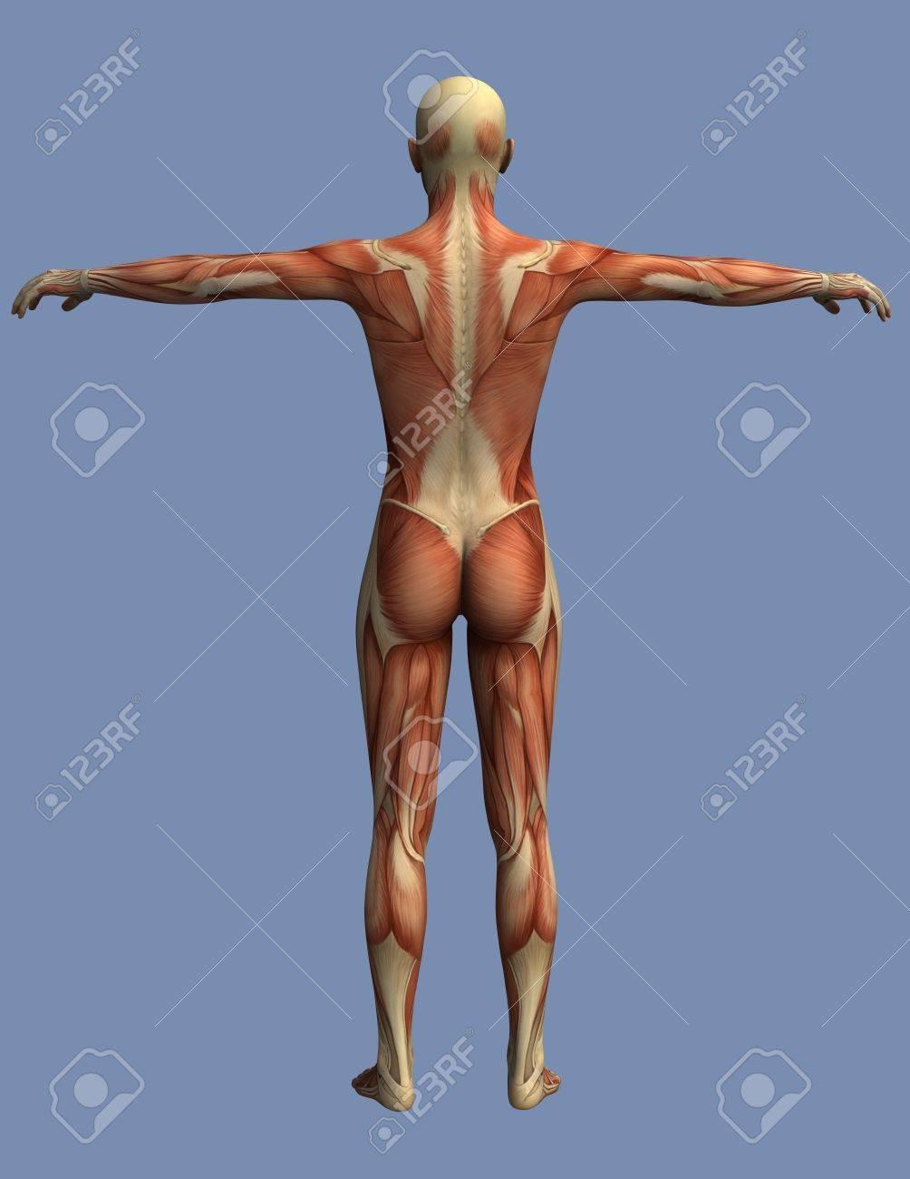 Músculos Del Cuerpo Humano Visto Desde Atrás, Un Hombre De Pie Con ...