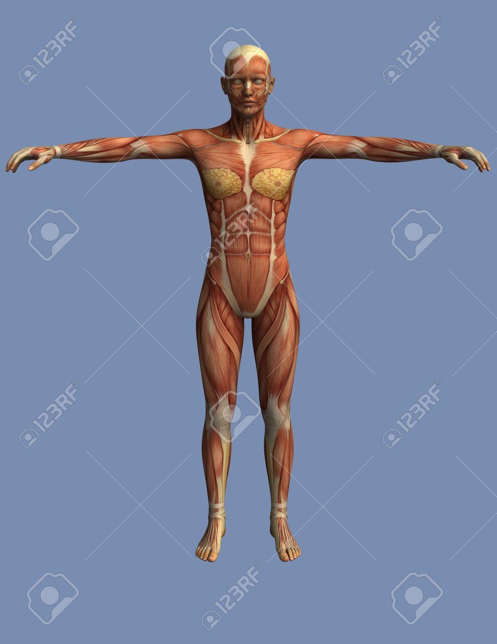 Músculos Del Cuerpo Humano Visto Desde El Frente, Un Hombre De Pie ...