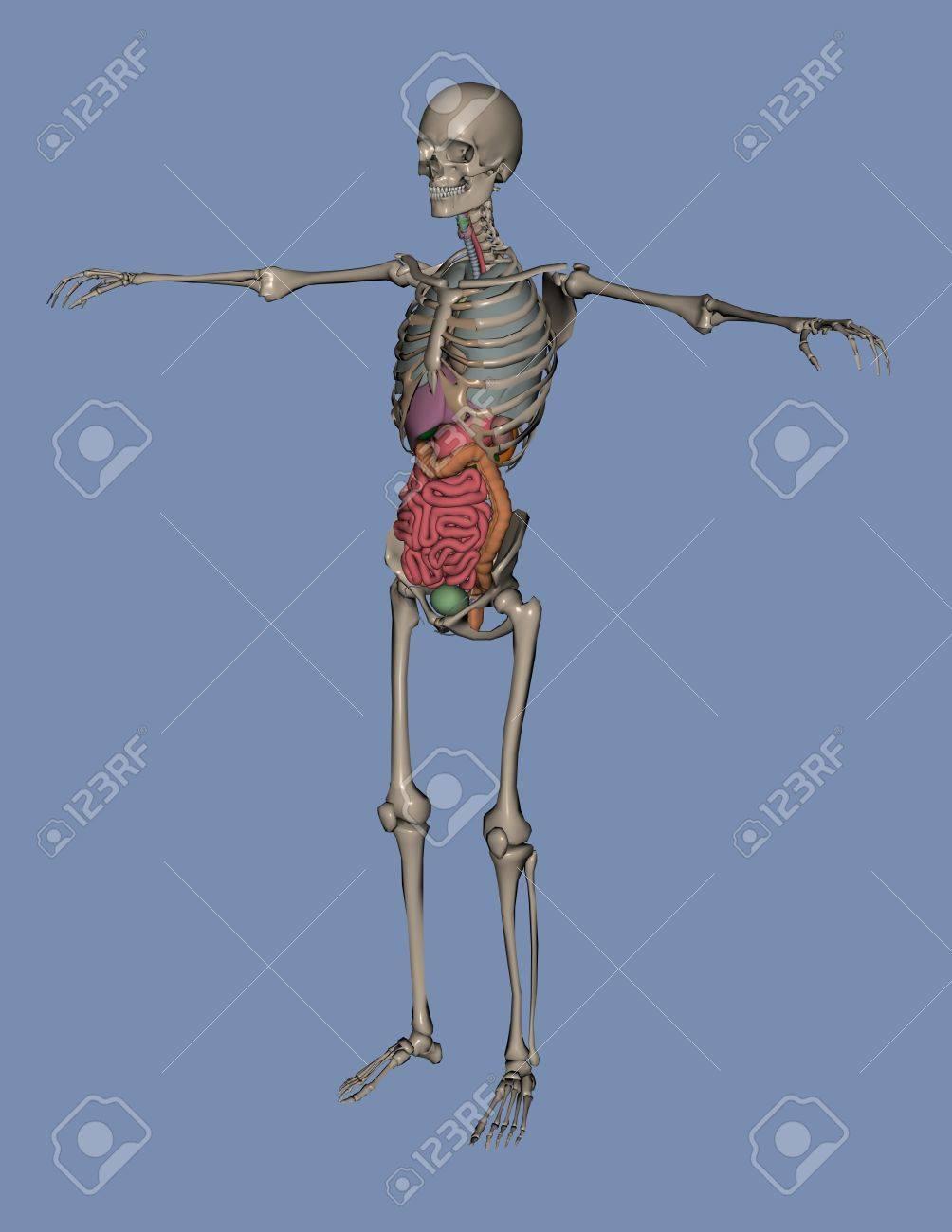 3d De Un Esqueleto Humano Con Los órganos, Intestino Grueso E ...