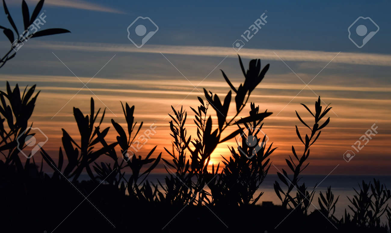 sunset with striped sky, where different colors blend, black shadows in silhouette are olive branches - 163360723