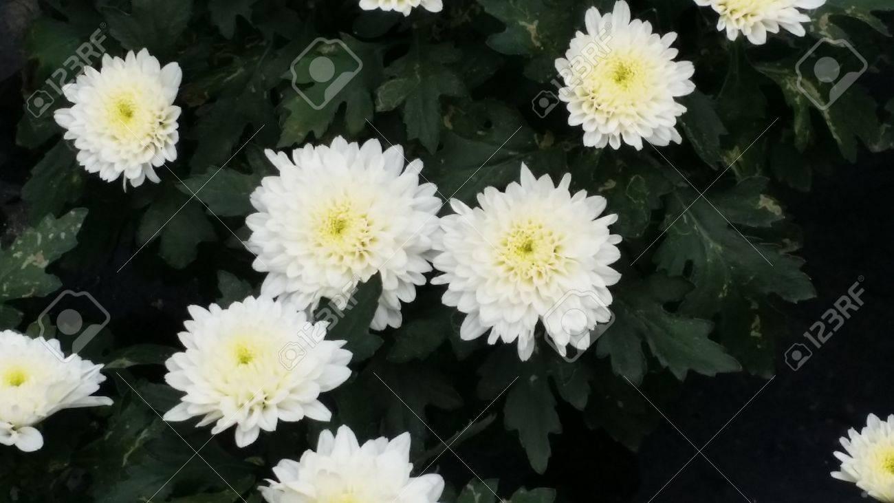 White Mums King Louis Flower Plantation Baguio Stock Photo Picture