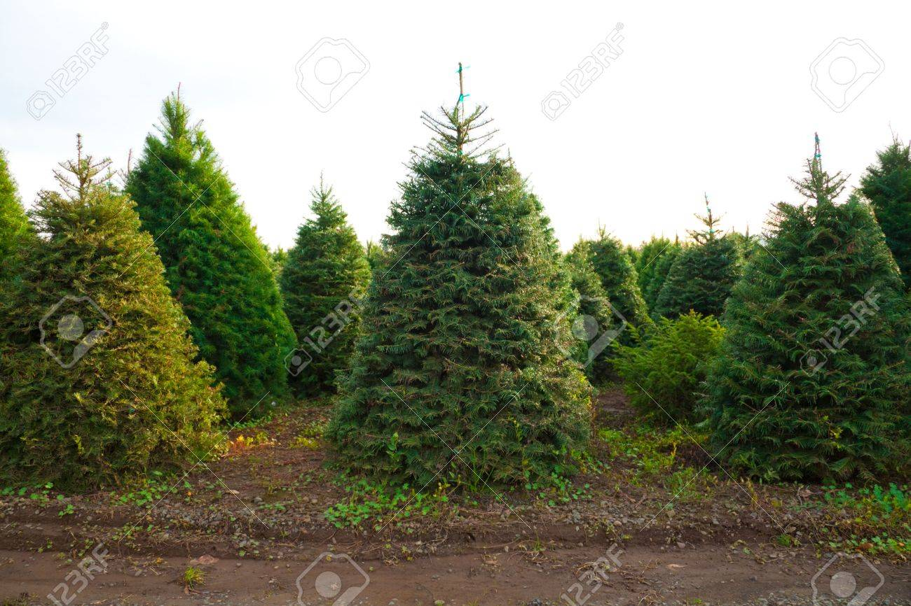 Oregon Christmas Trees.A Bunch Of Christmas Trees Are Growing In A Field At A Tree Farm