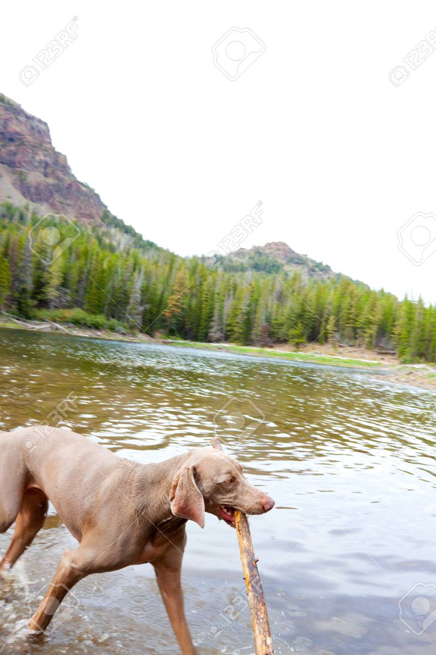 A weimaraner enjoys the water in Eastern Oregon along a river and lake. Stock Photo - 7970745