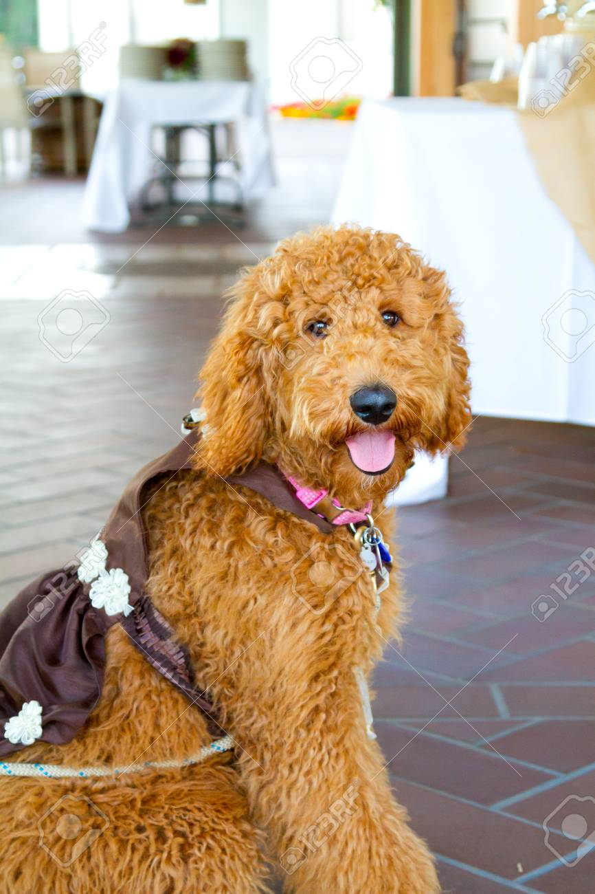 Stock Photo Wedding Ceremony Has A Labradoodle Ring Bearer Dog: Wedding Ring Barrier Dogs At Websimilar.org
