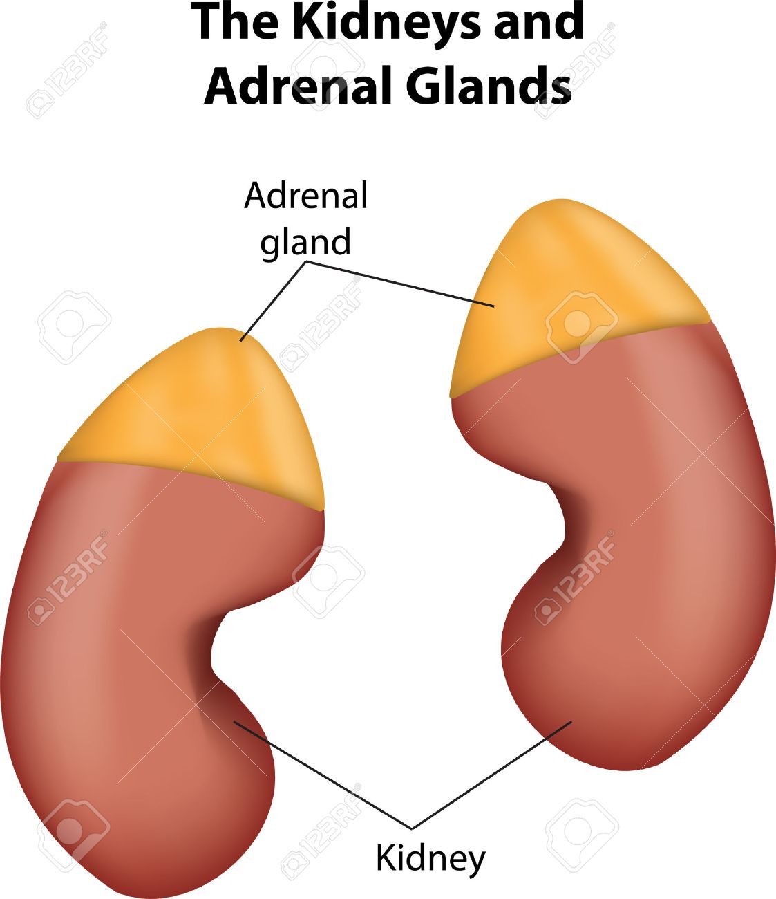 Kidneys And Adrenal Glands Royalty Free Cliparts Vectors And Stock