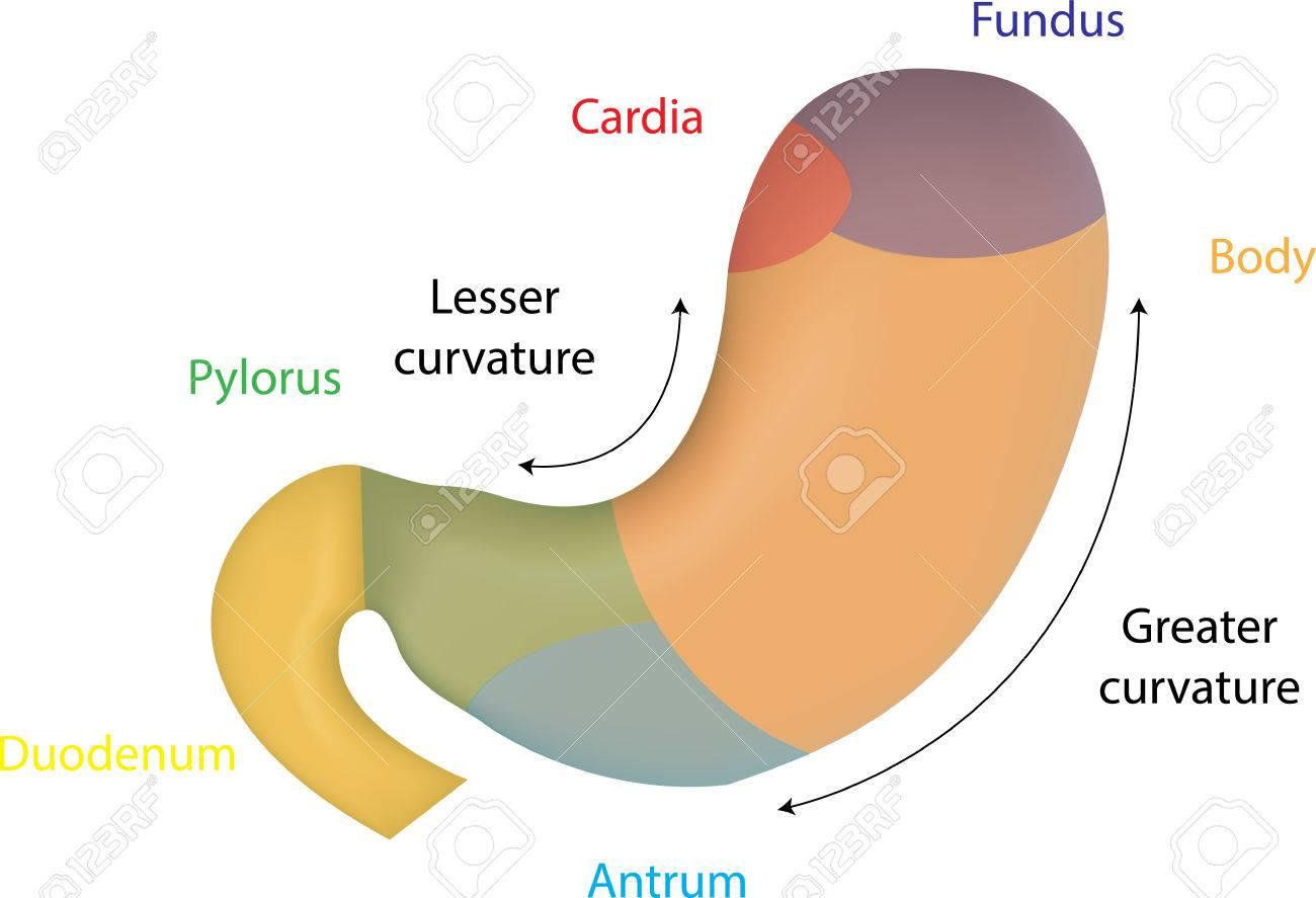 Anatomía De Estómago Ilustraciones Vectoriales, Clip Art Vectorizado ...