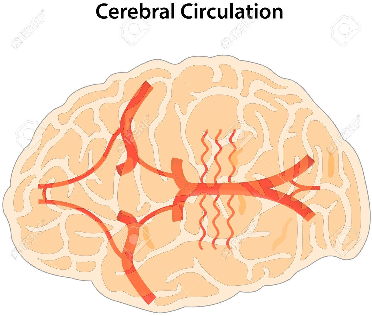Cerebral Circulation Royalty Free Cliparts, Vectors, And Stock ...
