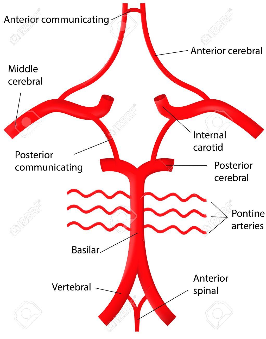 Círculo De Willis Etiquetada Diagrama Ilustraciones Vectoriales ...