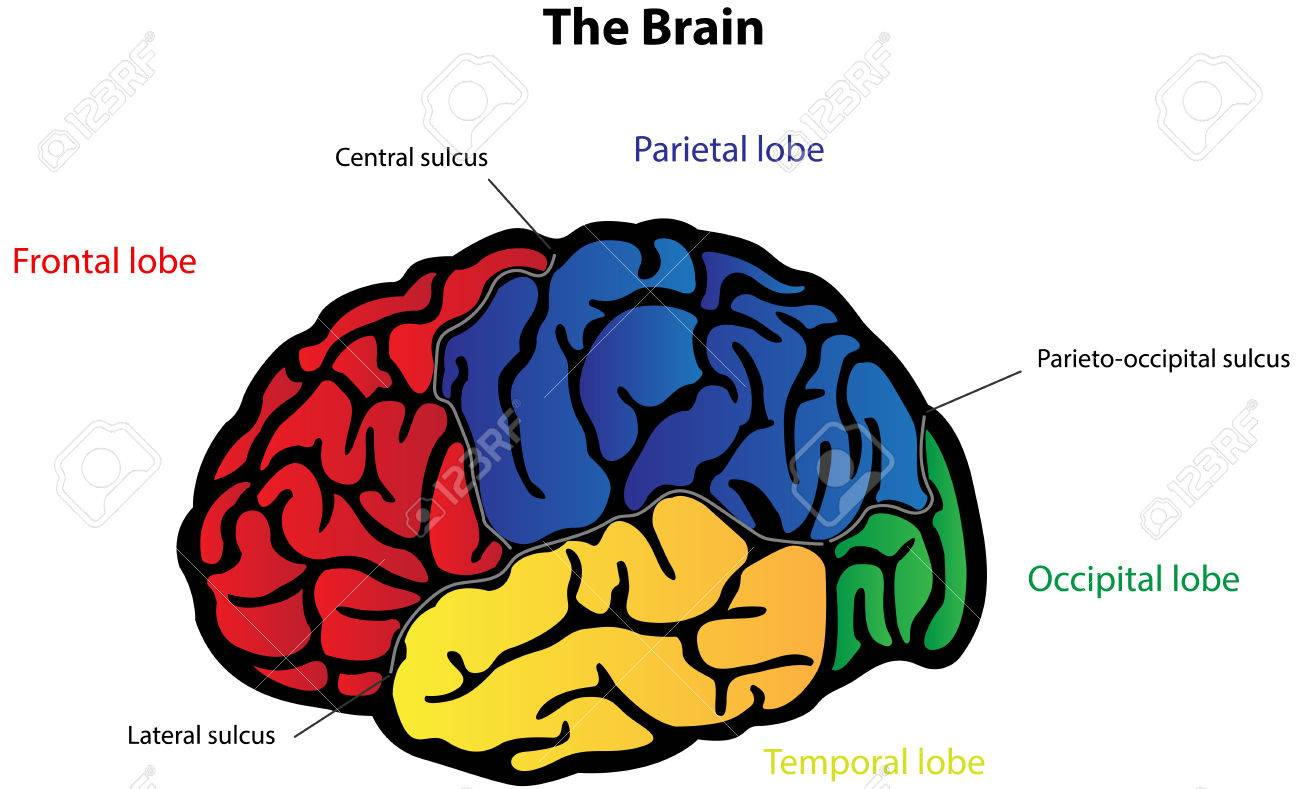 Brain Anatomy Labeled Diagram Royalty Free Cliparts Vectors And