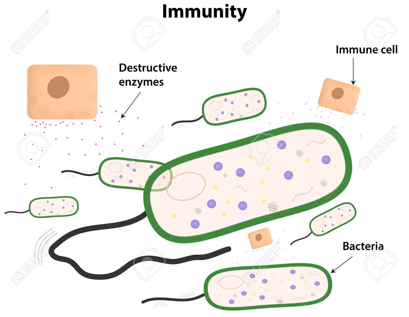 Immunity Labeled Diagram Royalty Free Cliparts, Vectors, And Stock ...
