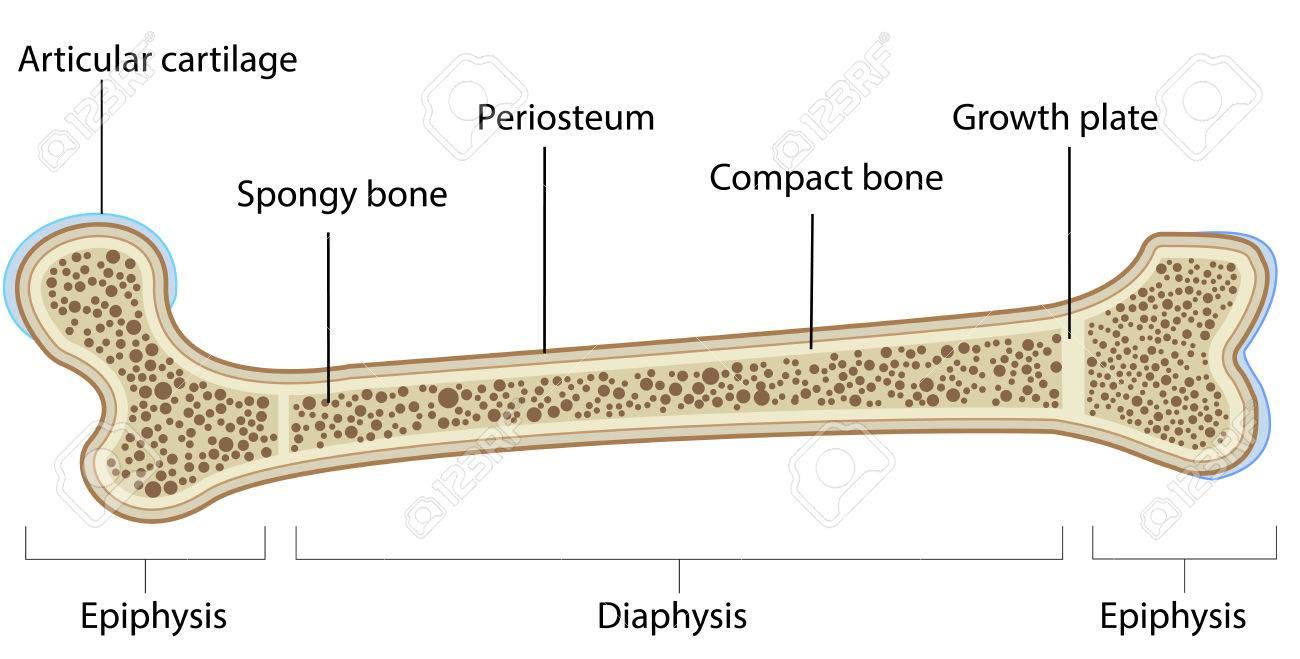Etiquetada Anatomía ósea Ilustraciones Vectoriales, Clip Art ...