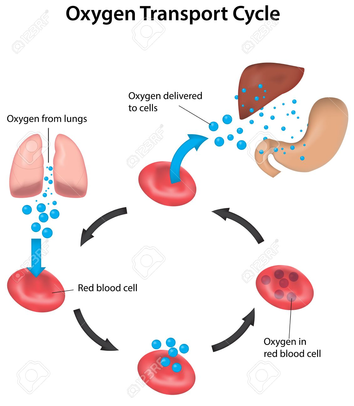 Oxygen transport and perfusion labeled diagram royalty free oxygen transport and perfusion labeled diagram stock vector 31325742 pooptronica Gallery