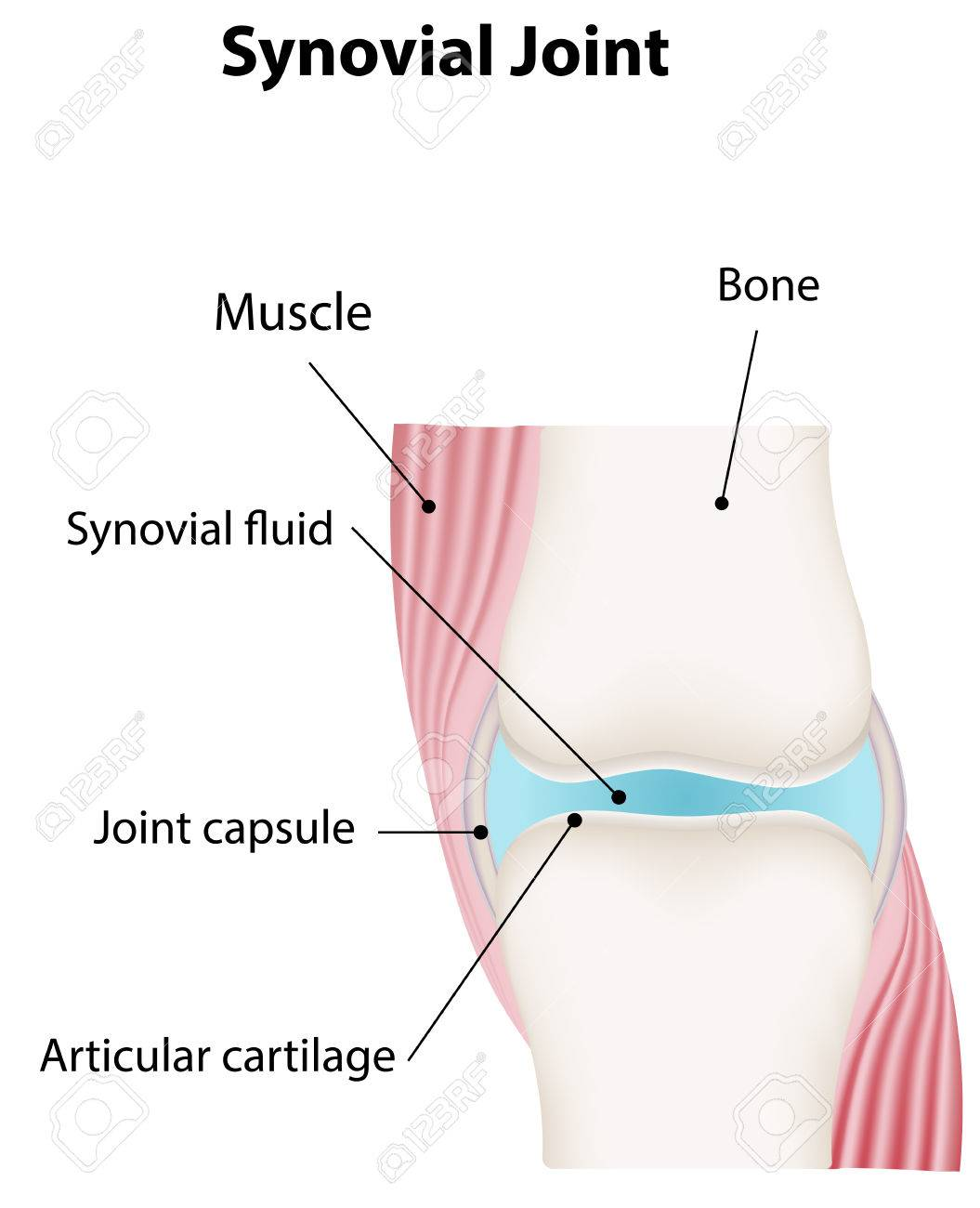 Synovial Joint Labeled Diagram Royalty Free Cliparts, Vectors, And ...