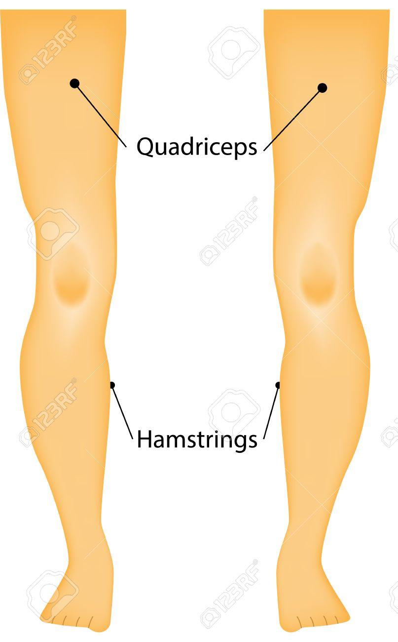 Los Músculos Marcados De La Diagrama Piernas Ilustraciones ...