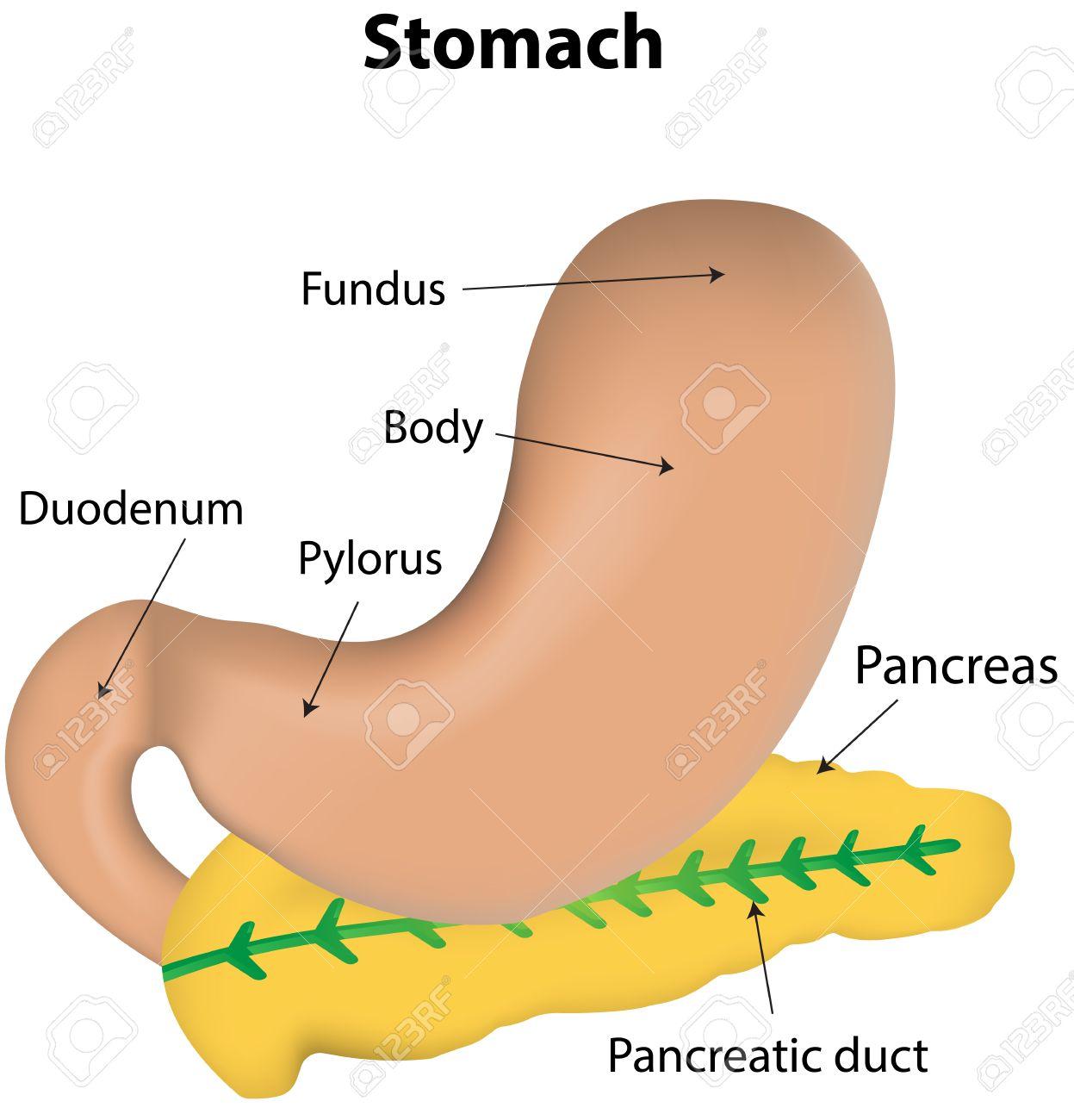 Estómago Y Páncreas Etiquetada Diagrama Ilustraciones Vectoriales ...