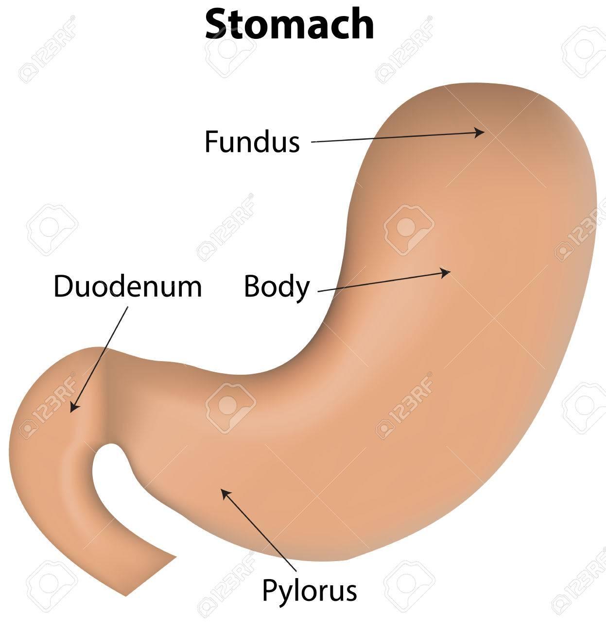Estómago Diagrama Etiquetada Ilustraciones Vectoriales, Clip Art ...
