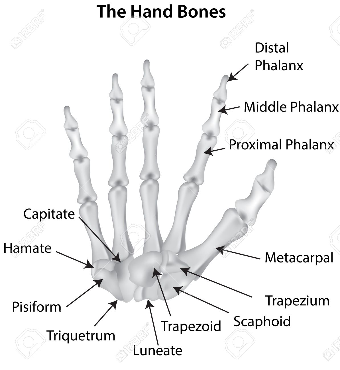 the hand bones labeled diagram royalty free cliparts, vectors, and