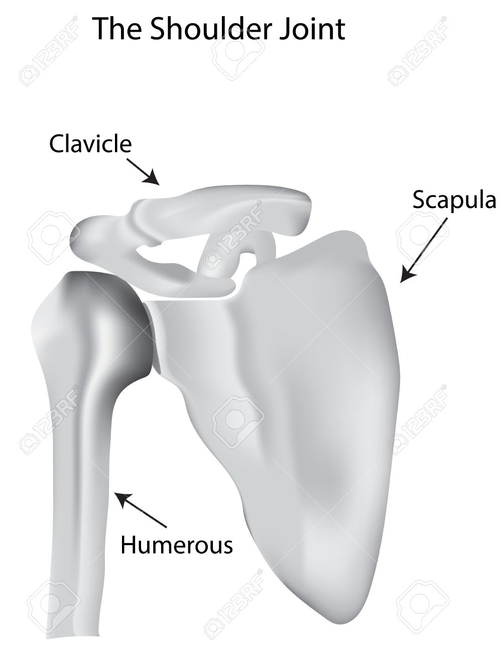 The Shoulder Joint Labeled Diagram Royalty Free Cliparts, Vectors ...