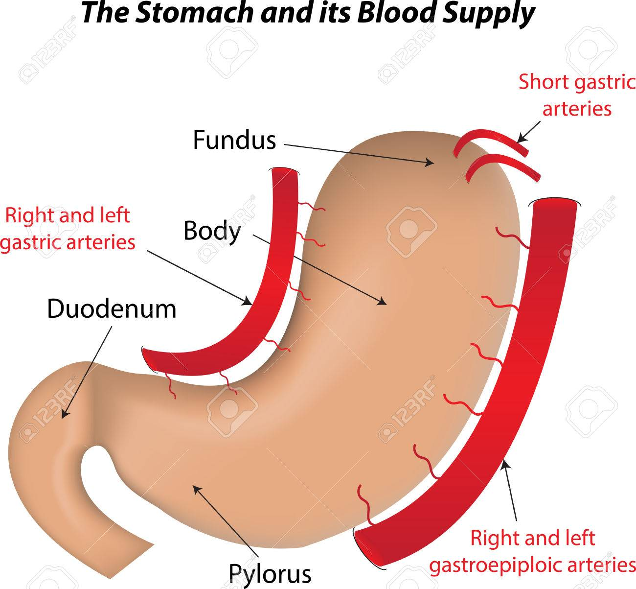 The Stomach And Its Blood Supply Royalty Free Cliparts Vectors And