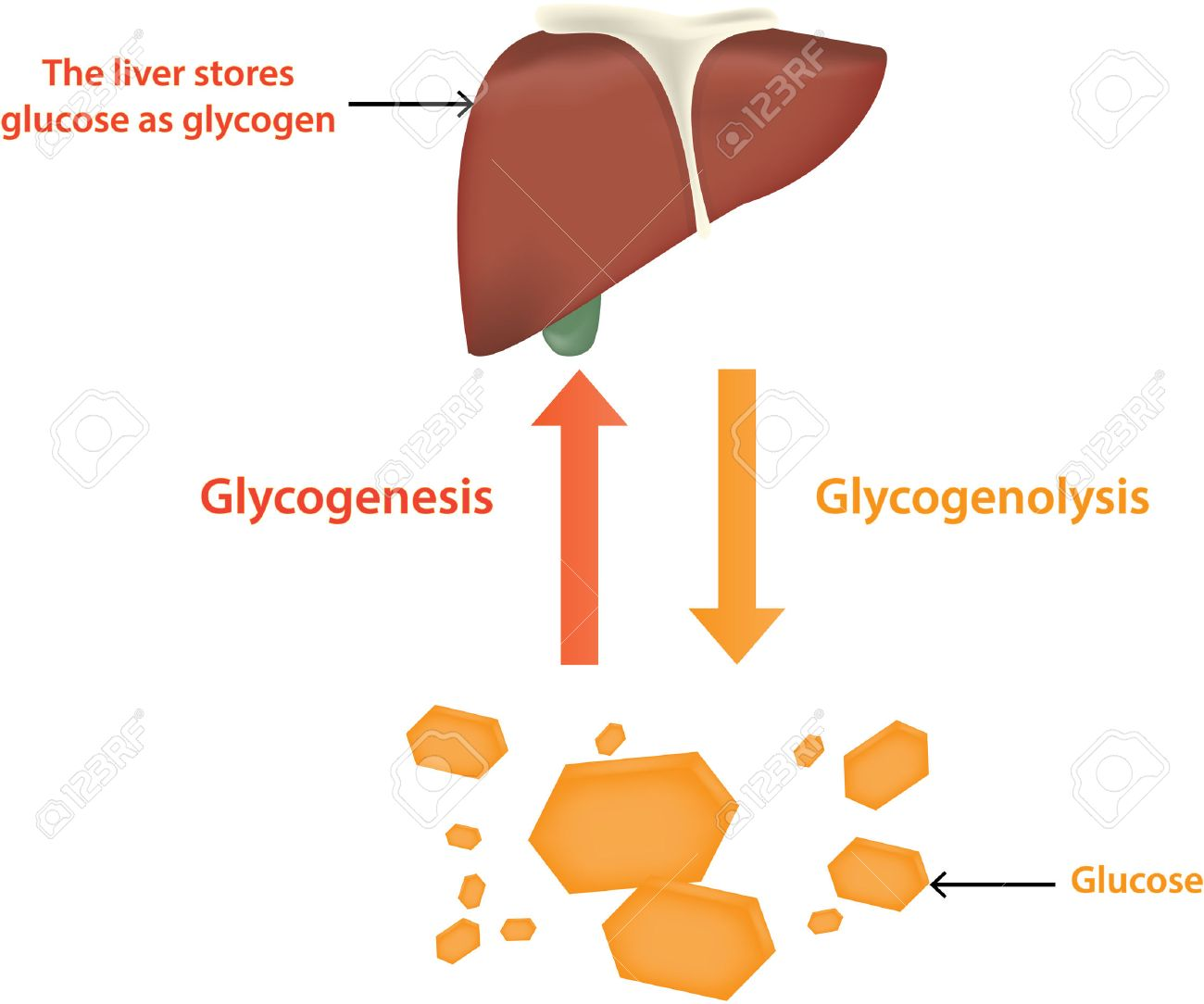 Glycolysis and Glycogenolysis - 34821793