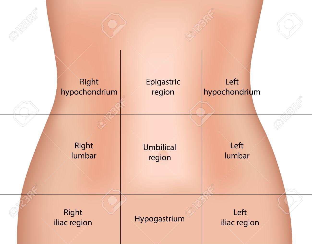 腹部の地域のイラスト素材・ベクタ - Image 35088043.