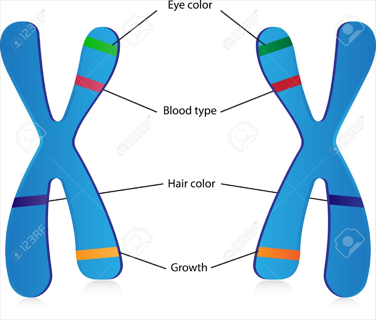 Genes and Alleles - 35413890