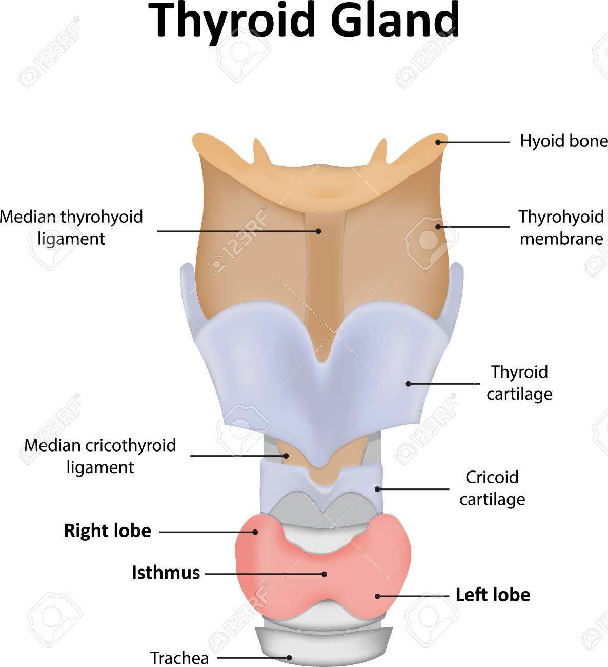 Thyroid Gland With Labels Stock Photo Picture And Royalty Free