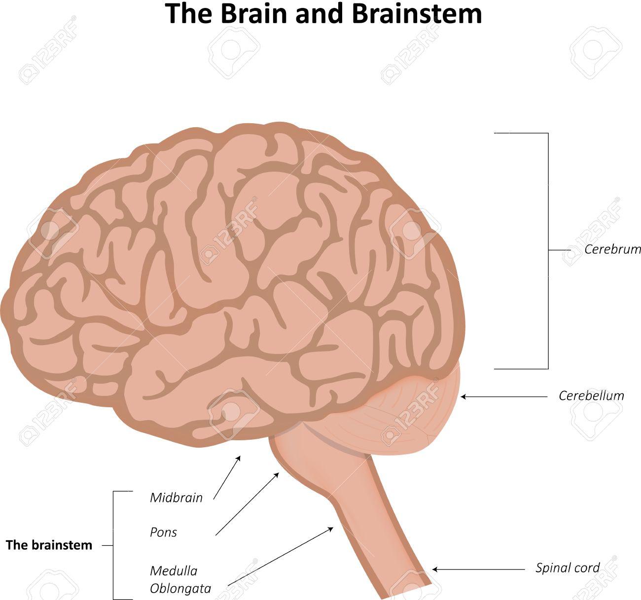El Cerebro Y Tronco Cerebral Anatomía Ilustraciones Vectoriales ...